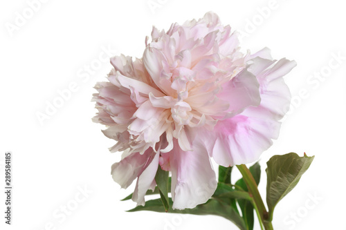 Poster Dahlia Tender pink peony flower isolated on white background.