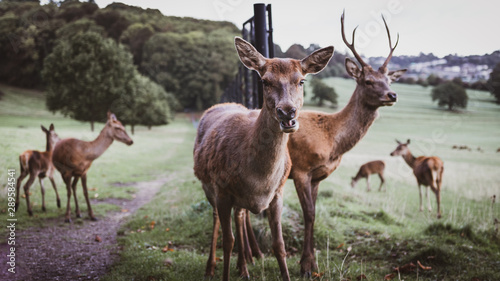 Photo sur Toile Cerf Deer gang