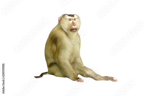 Photo sur Aluminium Singe Young cute monkey on white background .