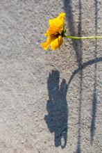 Single Yellow Flower And Shado...