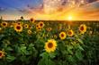 Leinwandbild Motiv Beautiful sunset over sunflower field