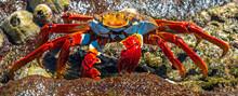 A Colorful Sally Lightfoot Crab (Grapsus Grapsus) Posing By The Seashore Next To Seashells On Santa Cruz Island, Galapagos Islands National Park, Ecuador.