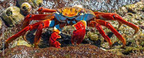 A colorful Sally Lightfoot Crab (Grapsus Grapsus) posing by the seashore next to seashells on Santa Cruz Island, Galapagos Islands national park, Ecuador Wallpaper Mural