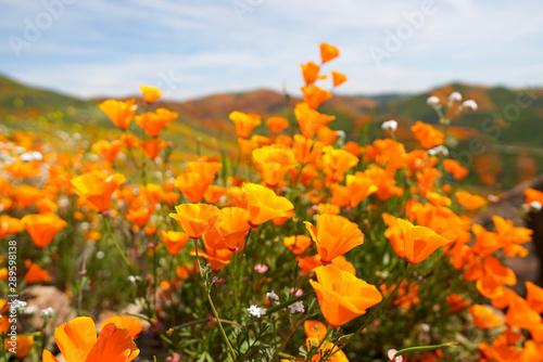 beautiful california orange poppy flowers during superbloom - 289598138