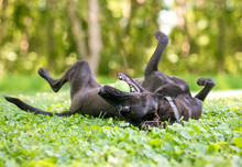 A Playful Black Mixed Breed Dog Rolling On Its Back In The Grass With A Ball In Its Mouth