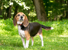 A Tricolor Beagle Mixed Breed ...