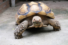 A Big Golden Turtle Come Closer To Camera