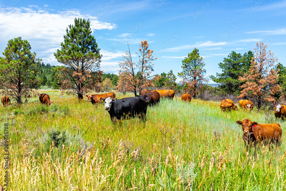 Fototapeta Flaming Gorge in summer in Utah National Park with many cows grazing on grass herd near ranch