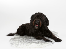 Barbet Dog Portrait With White Background. Isolated On White, Copy Space.
