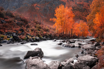 Obraz na Szkle Las Yellow autumn forest and river in the mountains. Altai, Siberia, Russia. Long exposure shoot