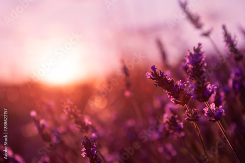 Lavender flowers at sunset in Provence, France. Macro image, shallow depth of field. Beautiful floral background