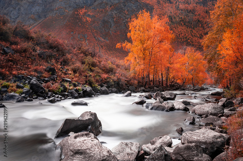 Acrylic Prints Forest river Yellow autumn forest and river in the mountains. Altai, Siberia, Russia. Long exposure shoot