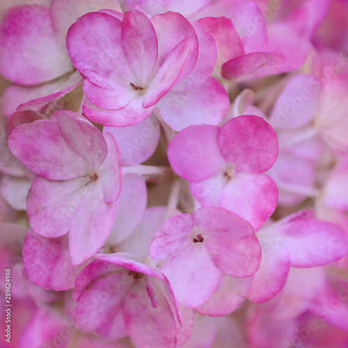 Fototapety, obrazy: Beautiful pink hydrangea flowers. Floral background of pink flowers.