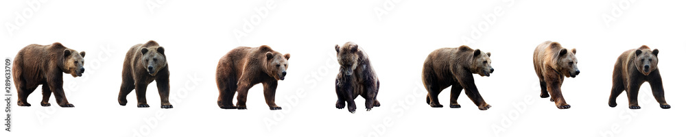 Fototapety, obrazy: Set of brown bear over white background