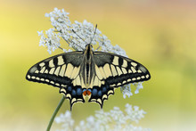 The Wonderful Old World Swallowtail (Papilio Machaon)