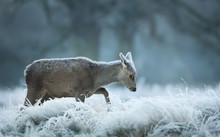 Red Deer Hind On An Early Winter Morning Walking In A Grass Field