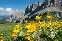 Blooming Spring Mountain Slopes.  Globeflowers  (Trollius Europaeus) Dolomites, Italy.