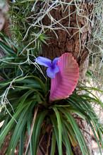 Sydney Australia, Quill Of  Wallisia Cyanea Or Pink Quill Plant