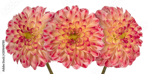 Photo Stands Floral Three pink dahlia flower on a white background