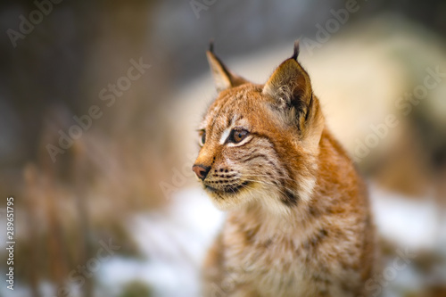 Foto auf Leinwand Luchs One eurasian lynx in the forest at winter looking for prey