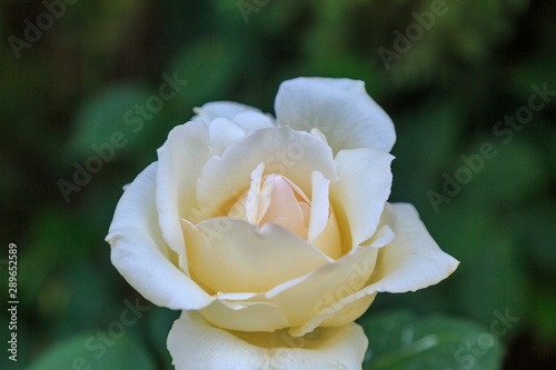 single white rose with green background