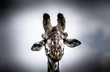 An Animal Portrait Shot Of A G...