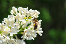 Honey Bee Sitting On White Lilac Flowers Close Up Detail, Soft Blurry Dark Background