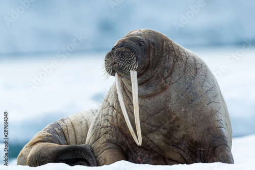 Valokuva outdoors, resting, walrus, looking, red eye, tusk, ocean, sea, water, arctic, sv