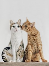 Cats Couple Falling In Love.