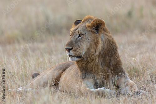 Poster Lion Lion Portrait