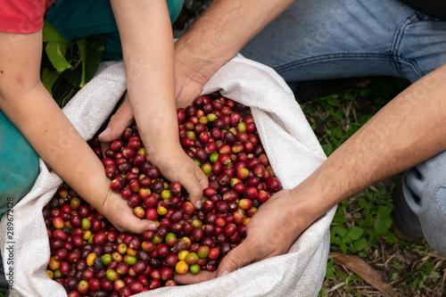 In de dag Koffiebonen Manos en frutos de café