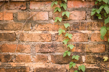 Old Vines On Old Brick Wall. O...