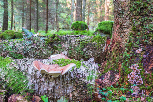 Fototapeta  Birch polypore on a tree log in a old  forest