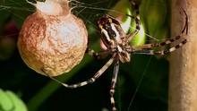 Eine Wespenspinne Hängt Mit Dem Kokon Im Netz