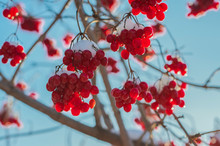 Many Viburnum Berries In Snow.