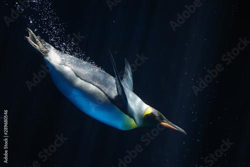 Fototapeta 水中の皇帝ペンギン obraz