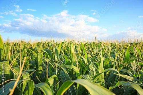 Fotografie, Tablou Green corn field on summer day
