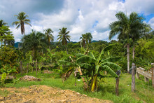 Exotic Cultivation On Tropical...