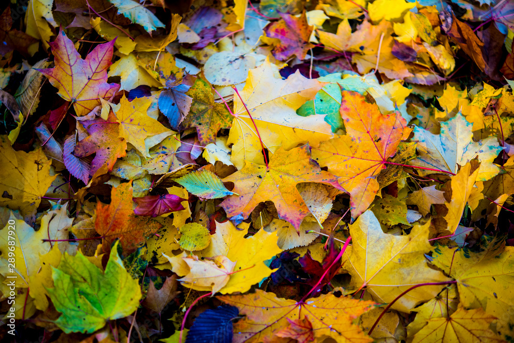 Fototapety, obrazy: Red and orange autumn leaves background. Outdoor. Colorful backround image of fallen autumn leaves