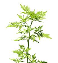 Blooming Ragweed Plant (Ambrosia Genus) On White Background. Seasonal Allergy