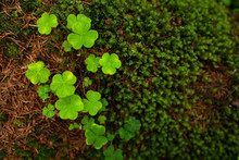 Wood Sorrel (Oxalis Acetosella) And Moss Closeup. Green Shamrocks Grow In The Forest On The Roots Of Trees. Northern Nature. Nordic Woodland. Top View Of Forest Plants. Great For Background.