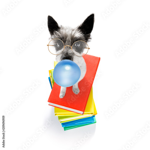 Fotobehang Crazy dog smart dog and books, chewing bubble gum