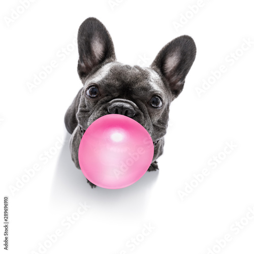Keuken foto achterwand Crazy dog dog chewing bubble gum