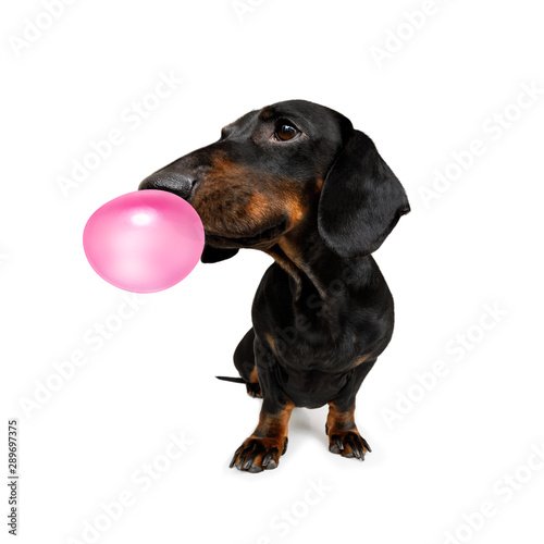 Fotobehang Crazy dog dog chewing bubble gum