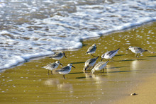 Sea Small Sandpipers Feed In T...