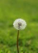 Leinwandbild Motiv Fleur de pissenlits en graines