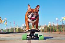 Smiling French Bulldog Skating...