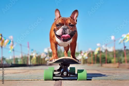 Fototapeta Smiling french bulldog skating on the longboard at the sunny day obraz