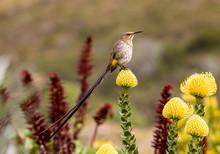 Cape Sugarbird At A Yellow Protea