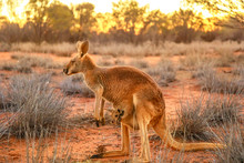 Side View Of Red Kangaroo With A Joey In A Pocket, Macropus Rufus, On The Red Sand Of Outback Central Australia. Australian Marsupial In Northern Territory, Red Center. Desert Landscape At Sunset.